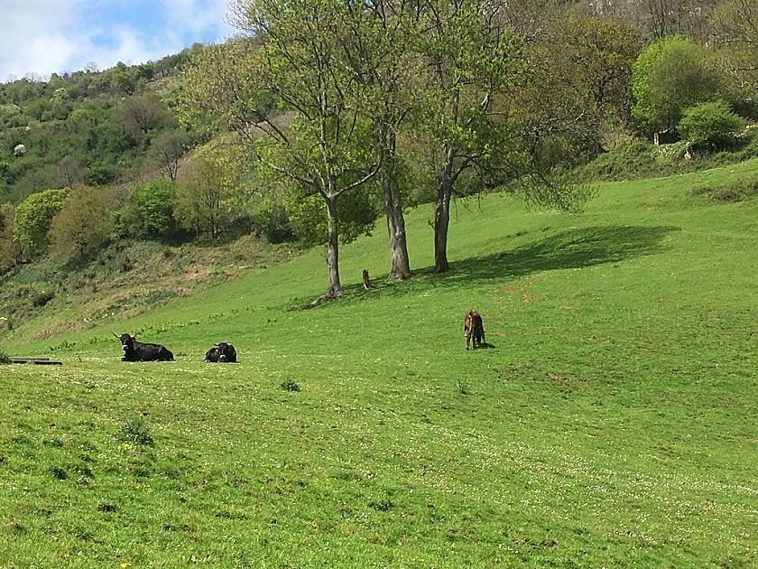 Toros y vacas paciendo en Corrales de Buelna, Cantabria.